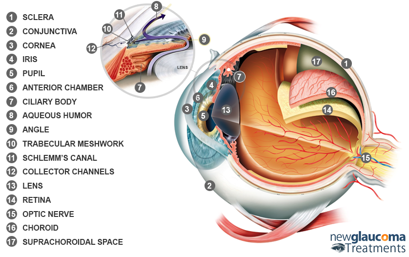 Human Eye: A Brief Introduction | New-Glaucoma-Treatments.com
