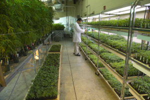 Marijuana university of mississippi school of pharmacy